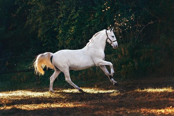Vit häst galopperar